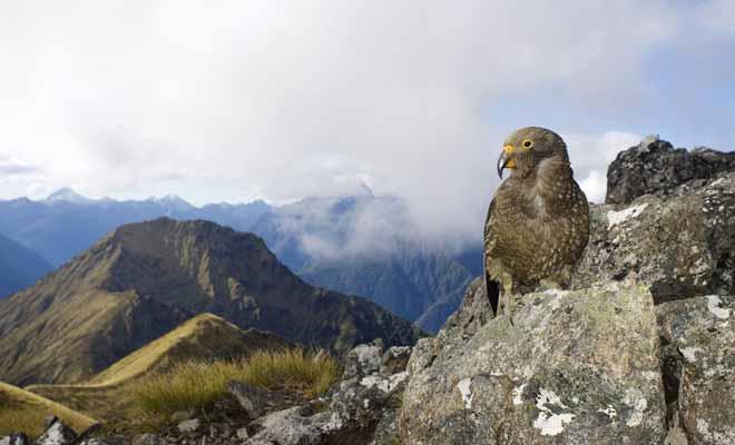 Avant l'arrivée des Maoris, la Nouvelle-Zélande n'était peuplée que par des oiseaux et l'on n'y trouvait aucun mammifère terrestre.