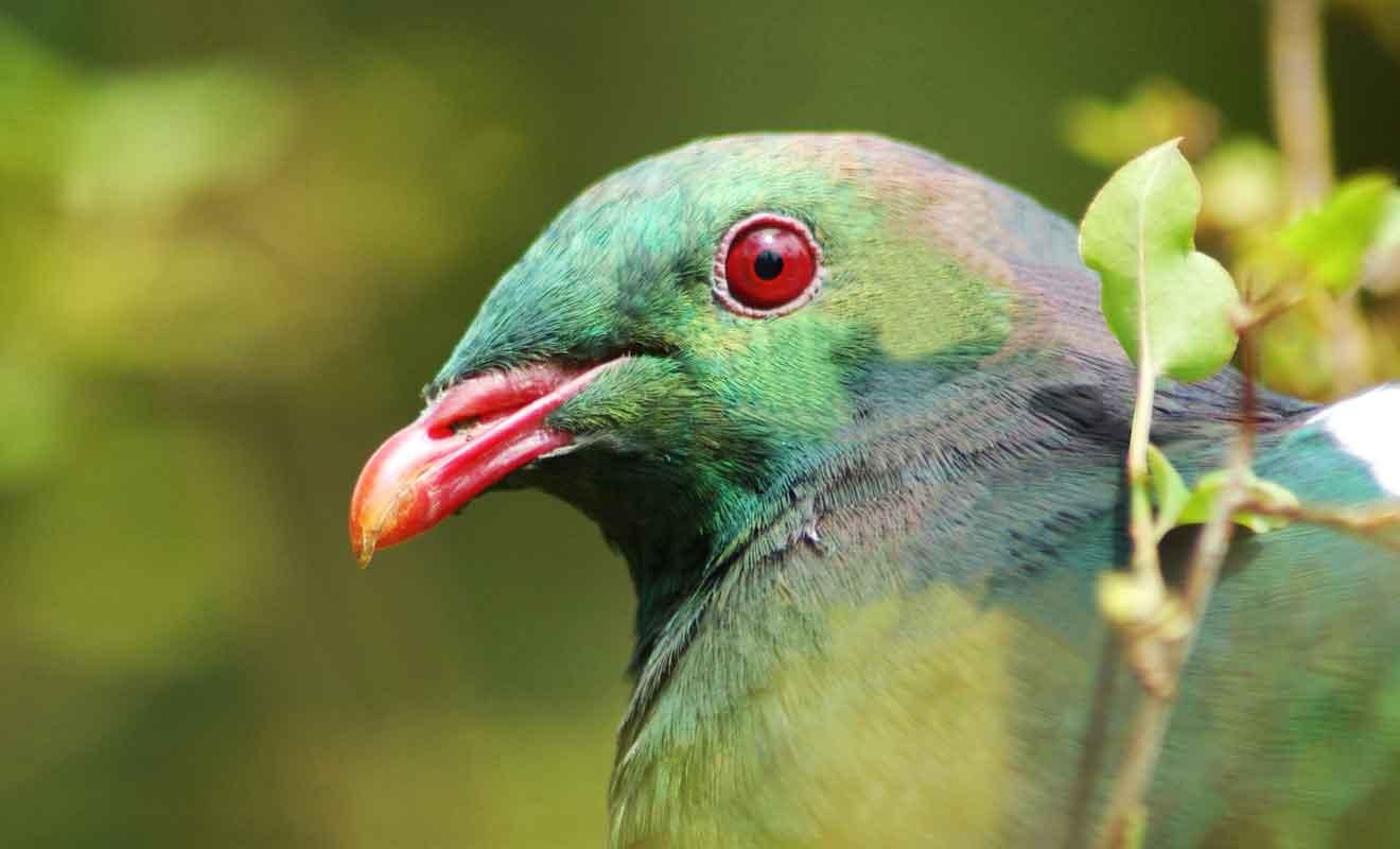 Parce qu'il n'est la cible d'aucun prédateur, le Kereru affiche un embonpoint impressionnant pour un pigeon.
