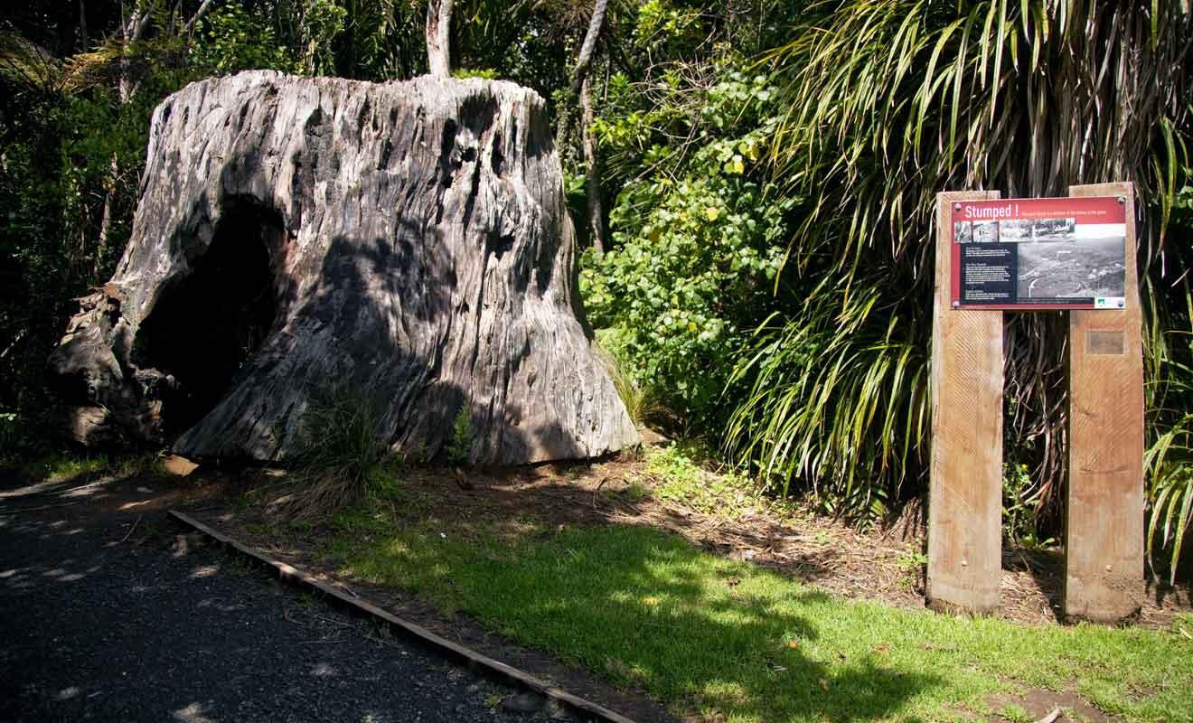 Les kauris autrefois employés comme bois de construction sont aujourd'hui protégés.