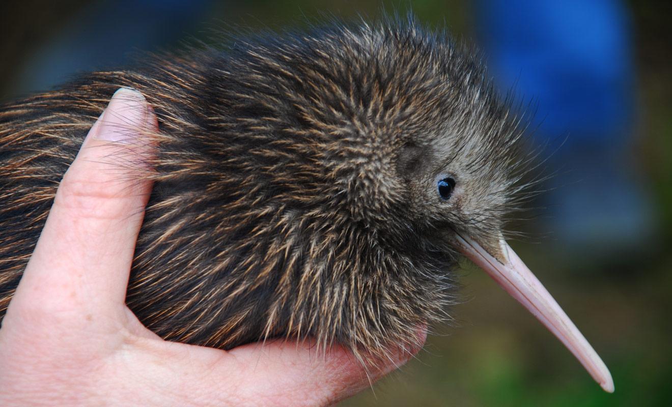 Les kiwis sont décimés par les mammifères introduits par l'homme dans le pays, à commencer par les chiens et les chats. Il faut dire que le kiwi étant dépourvu d'ailes, il est considérablement désavantagé pour lutter contre ses prédateurs.