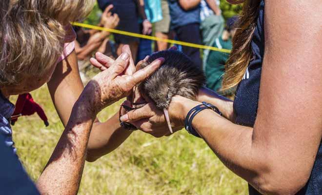 De nombreuses associations de bénévoles viennent en aide aux Kiwis blessés en forêt ou incapable de grandir suite aux décès de leurs parents. C'est grâce au travail de ces bénévoles que l'espèce sera un jour sauvée.