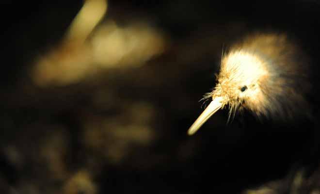 L'oiseau sans aile baptisé kiwi est si populaire quel les Néo-Zélandais l'ont adopté comme mascotte nationale. Son nom désigne aussi les habitants du pays !