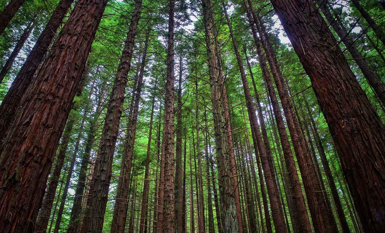 Cette variété d'arbre se rencontre également dans la forêt de Rotorua.