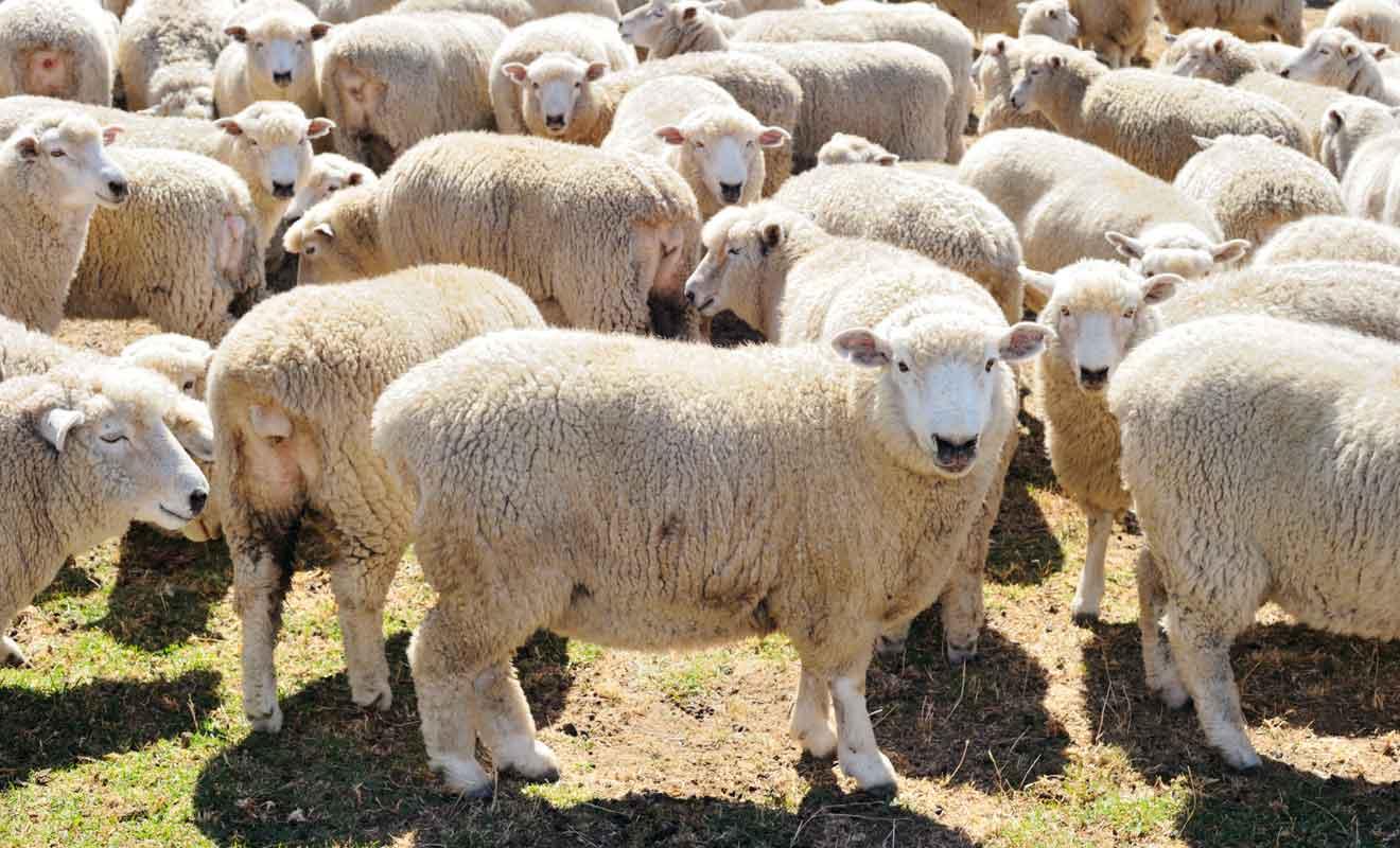 Contrairement à ce que l'on pourrait croire, les moutons ne sont pas faciles à approcher et ils se sauvent au moindre geste brusque dans leur direction.