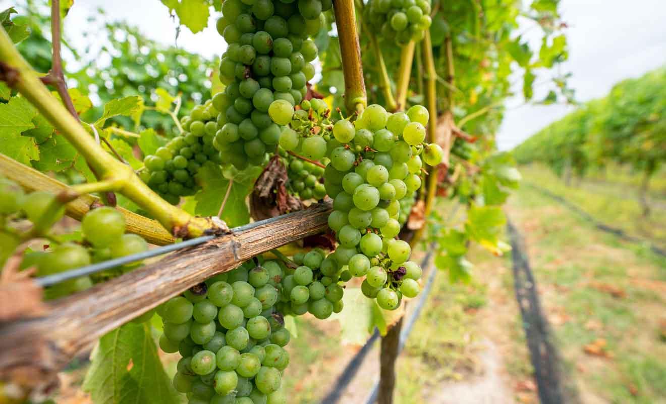 Le pinot noir et le chardonnay sont les vins qu'il faut absolument goûter.