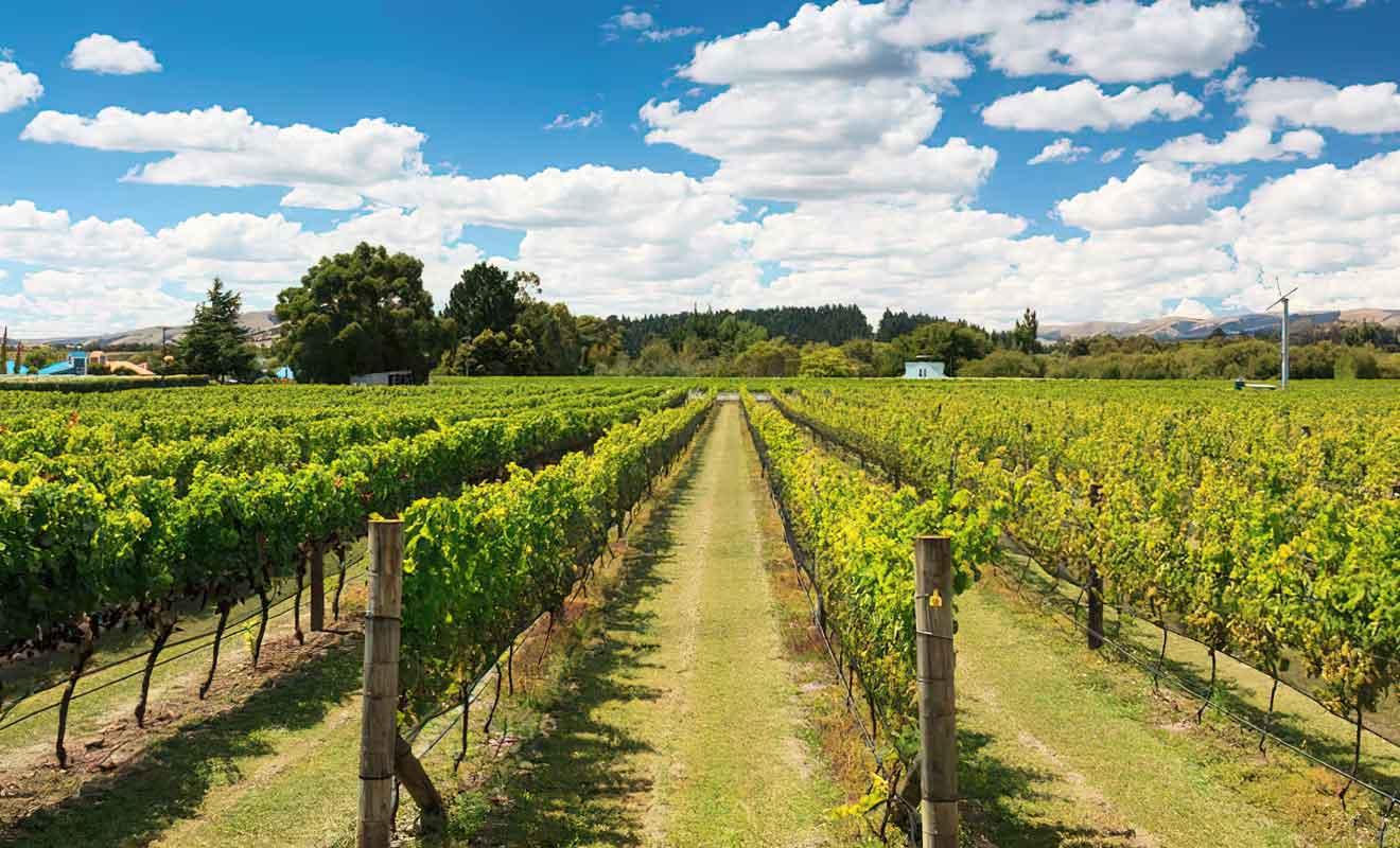La qualité des vins néo-zélandais s'est considérablement améliorée à partir des années 80.