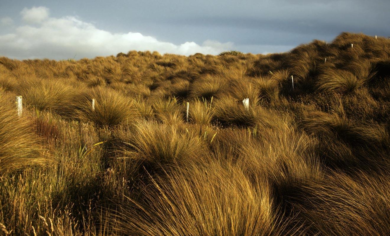 Le tussack, une herbe jaune constamment balayée par un vent puissant donne du charme à Mason Bay.