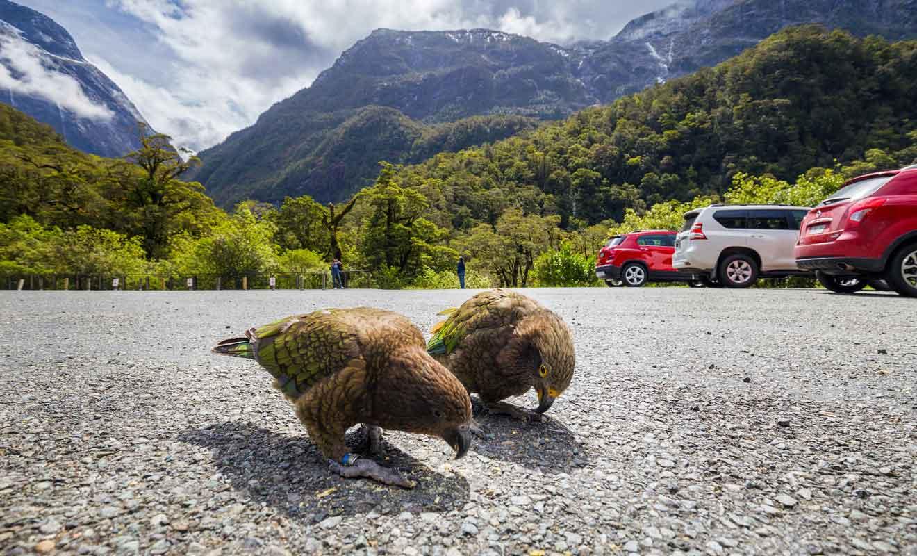 Il ne faut pas nourrir les keas qui viennent mendier auprès des touristes.
