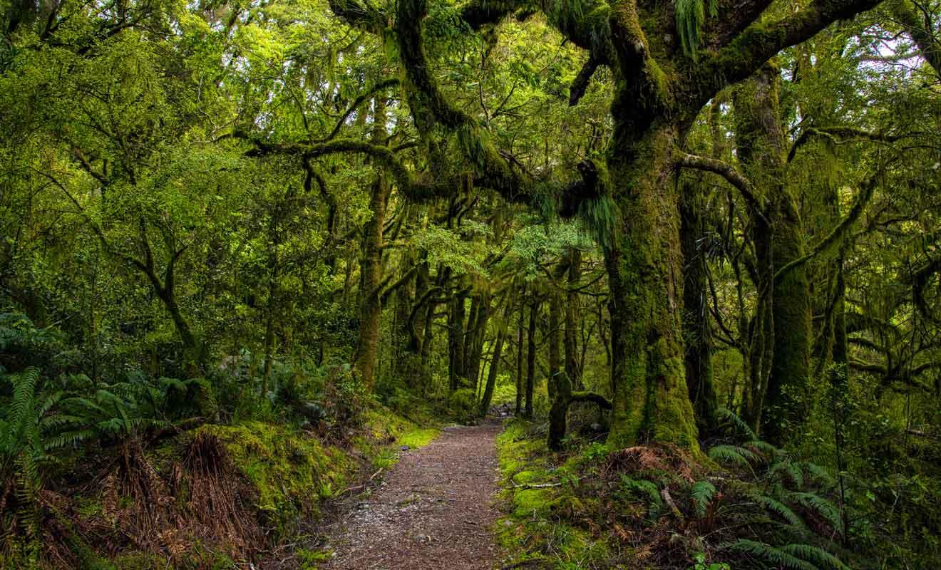Dans le Southland où il tombe 9 m de pluie à l'année, la mousse recouvre les troncs d'arbres et l'on ne compte plus les variétés de fougères, comme la Silver Fern.