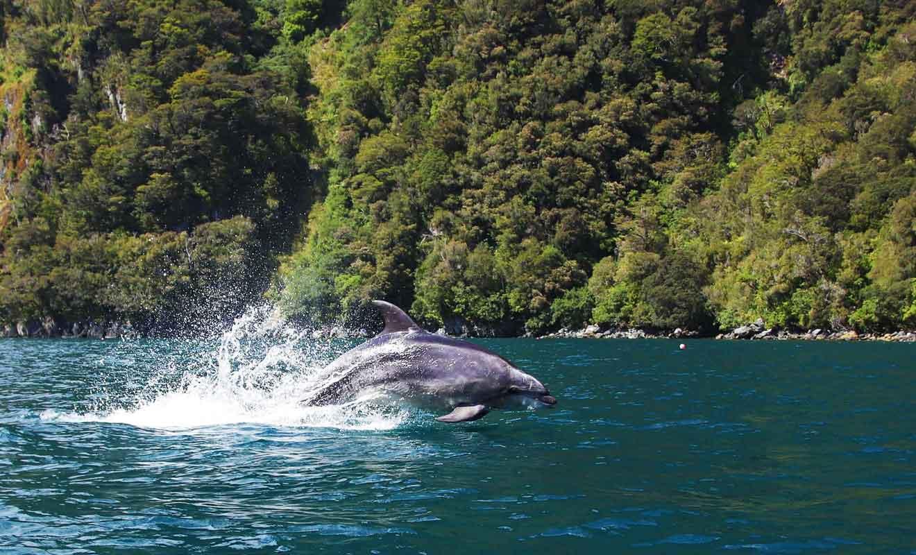 Le nombre de dauphins a baissé depuis une dizaine d'années, sans doute à cause du nombre trop important de navires dans le fjord.