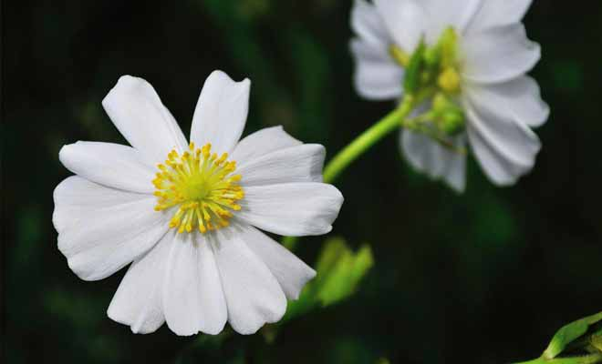 Les 300 variétés de fleurs de la vallée ont en commun leurs pétales blanches. C'est le cas notamment du Lys du Mt Cook.