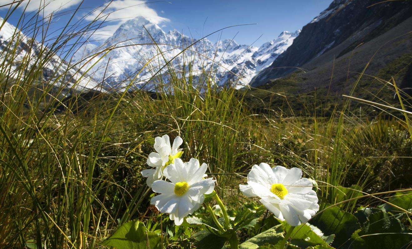 La saison idéale pour se promener sur les flancs du mont Cook se situe au printemps. La végétation reprend ses droits et la vallée se couvre de fleurs.
