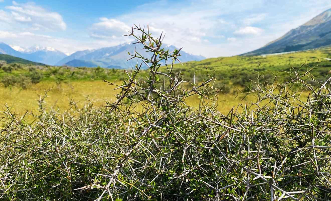 Méfiez-vous des buissons épineux que l'on trouve en bordure de chemin.