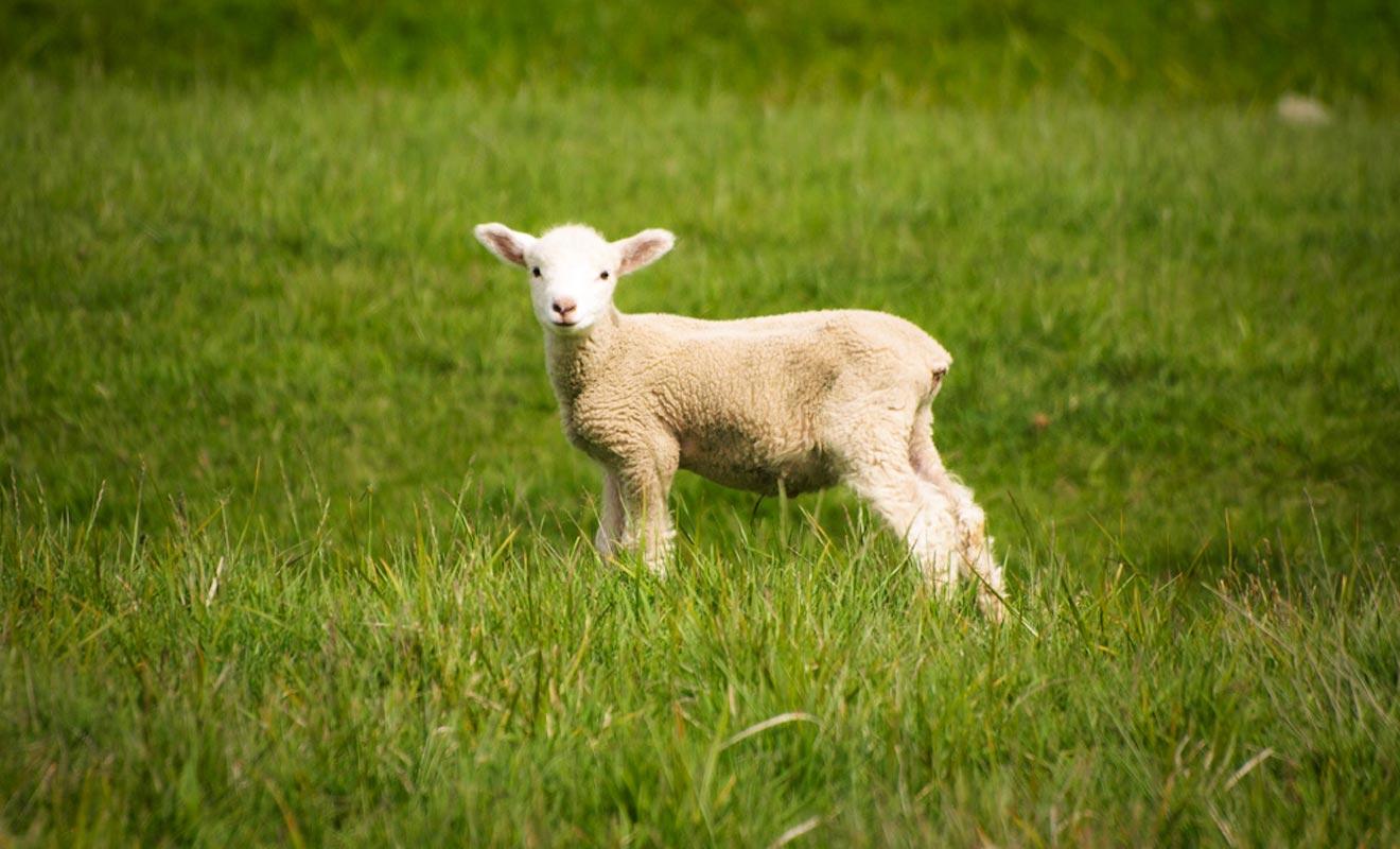 Il y a encore 30 ans, la Nouvelle-Zélande comptait 70 millions de moutons. Ils sont encore 30 millions à paitre dans les grandes prairies.