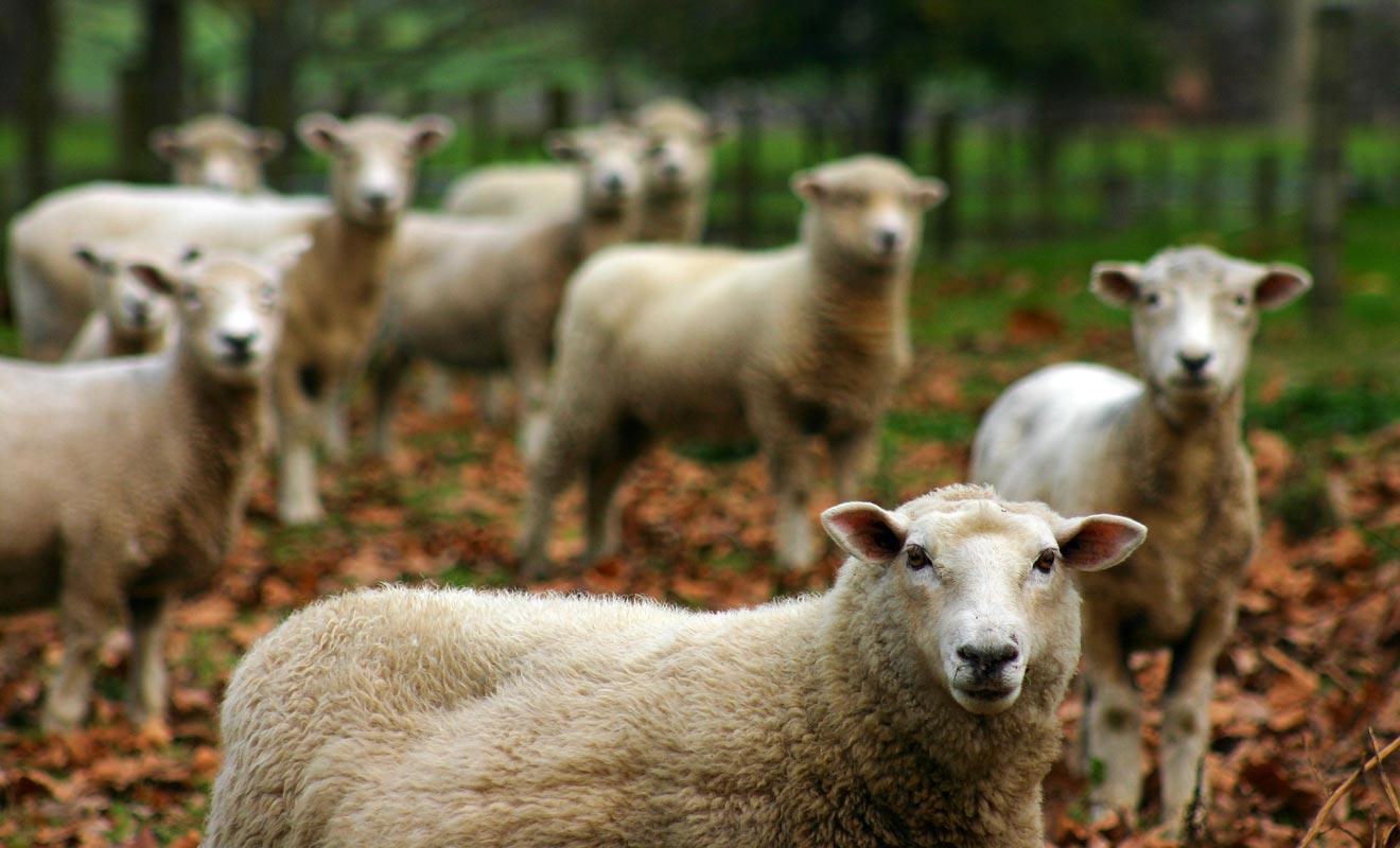 On compte environ 7 moutons par Néo-Zélandais, soit un total de 30 millions de ces adorables tondeurs de gazon sur pattes.