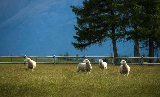 Contrairement à l'idée répandue, le nombre de moutons continue de diminuer. On compte désormais environ six moutons par habitant en Nouvelle-Zélande.