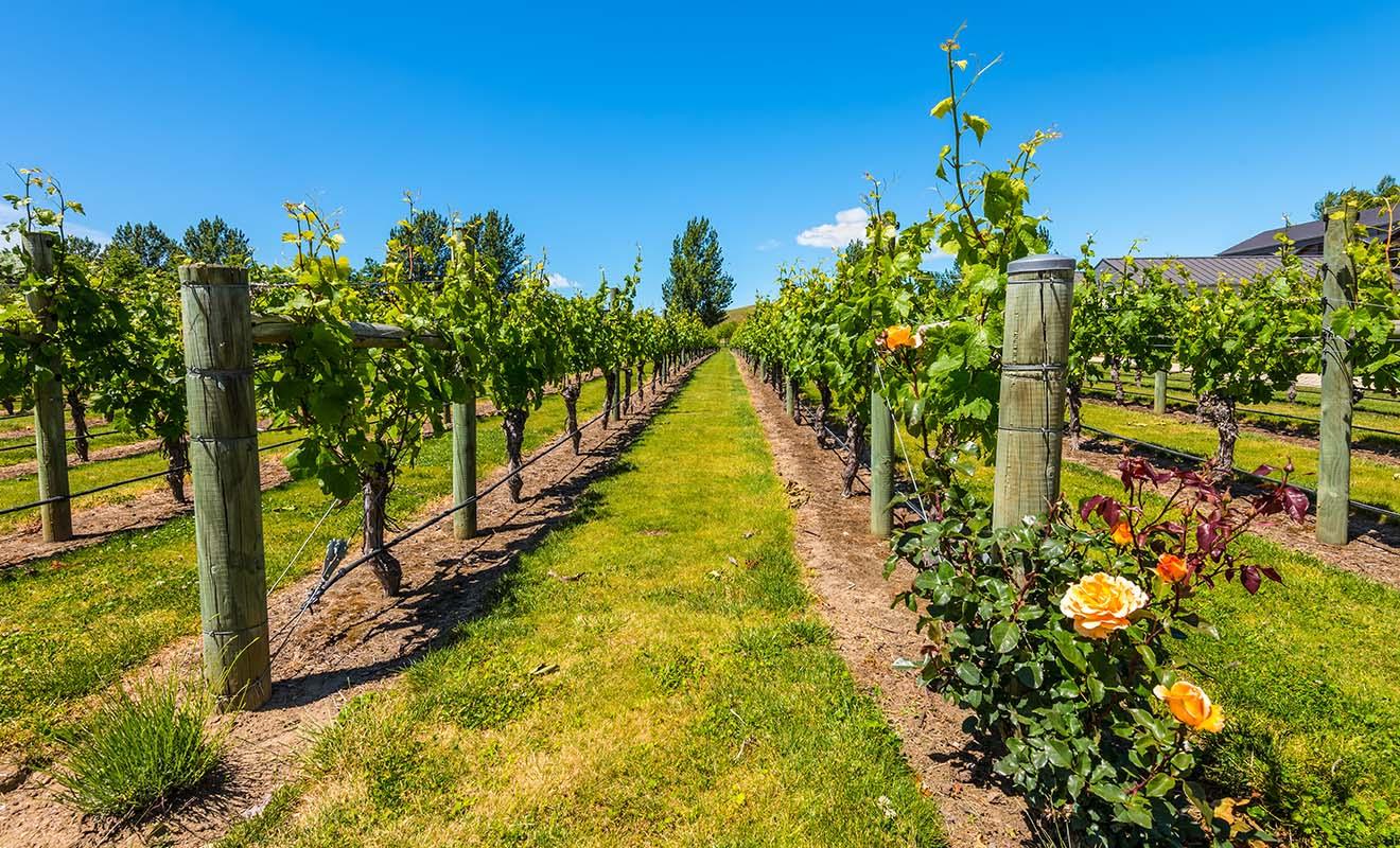 Vignobles et vergers profitent du climat exceptionnel de la baie de Hawkes et contribuent pour beaucoup à l'économie de la région.