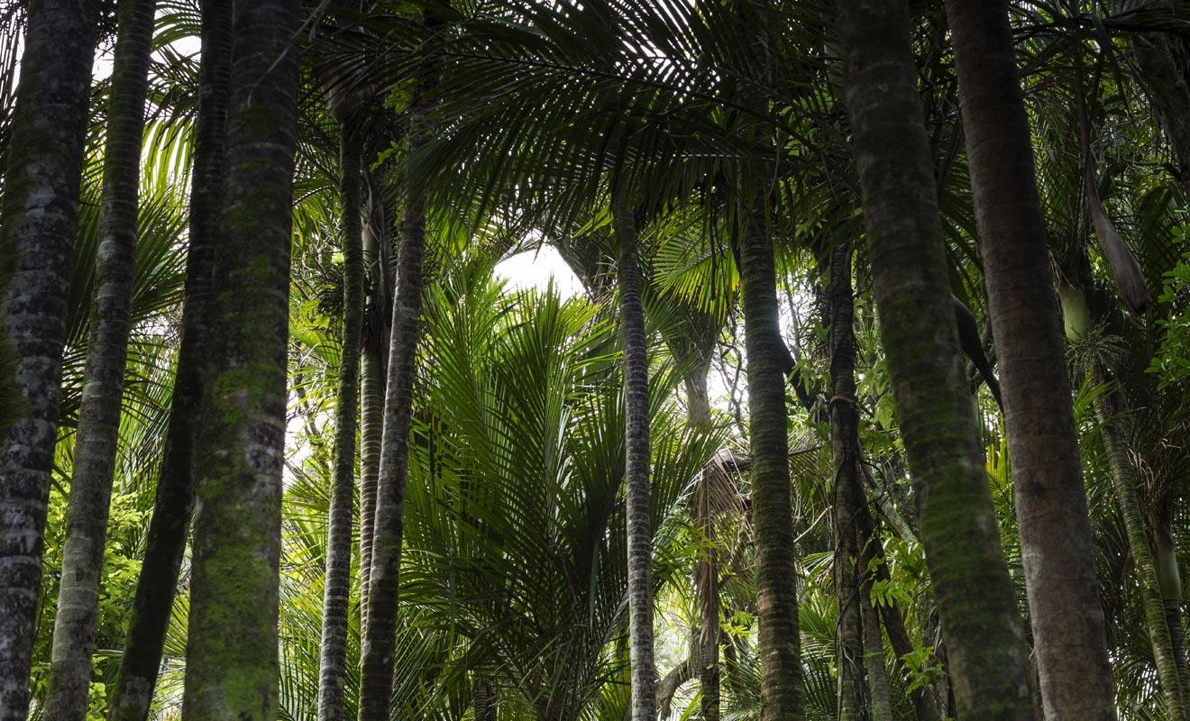 À une latitude aussi basse, les palmiers ne peuvent pas pousser. Cependant, un microclimat permet au nikau de croitre dans le parc national de Paparoa.