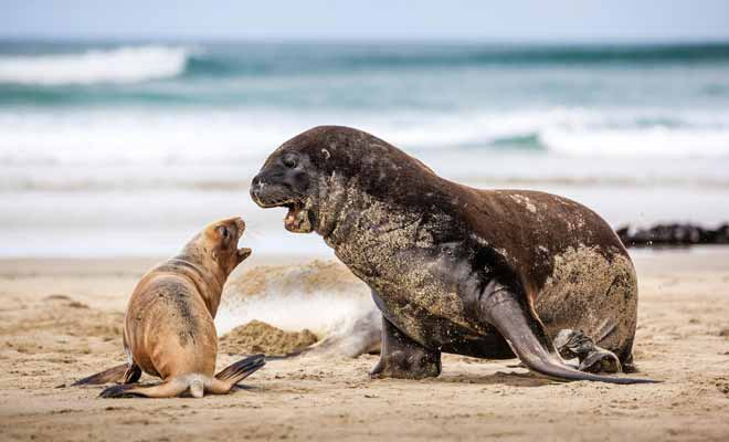 On trouve des otaries à fourrure aussi bien sur l'Île du Nord que sur l'Île du Sud. Notez la différence de taille entre un mâle et une femelle... Impossible de se tromper.
