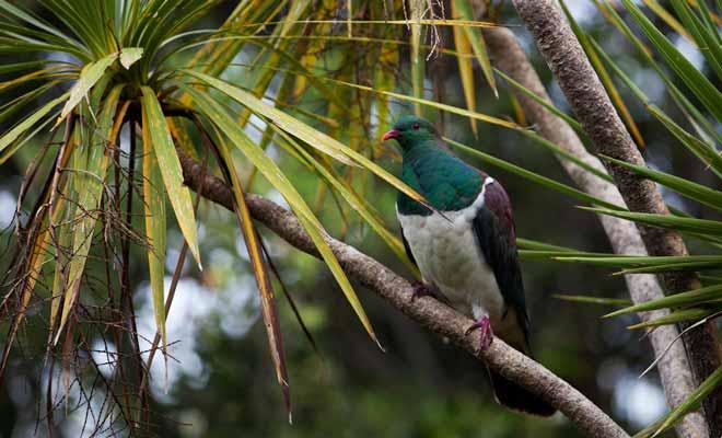 Le kerukeru est un pigeon de Nouvelle-Zélande.