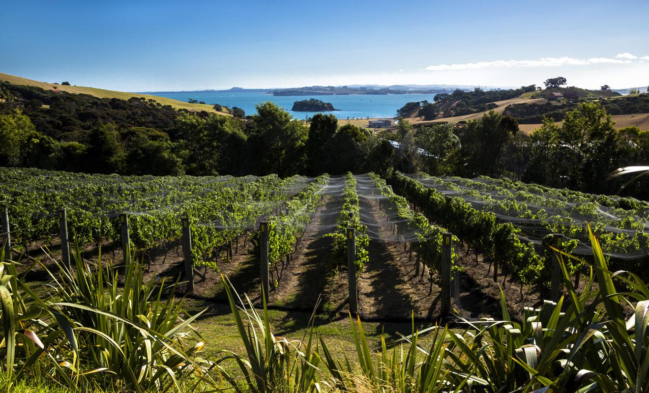 Quand on pense à Auckland, on imagine aussitôt la cité des voiles... mais Auckland est une région avant d'être une ville, et cette région possède de merveilleux vignobles.