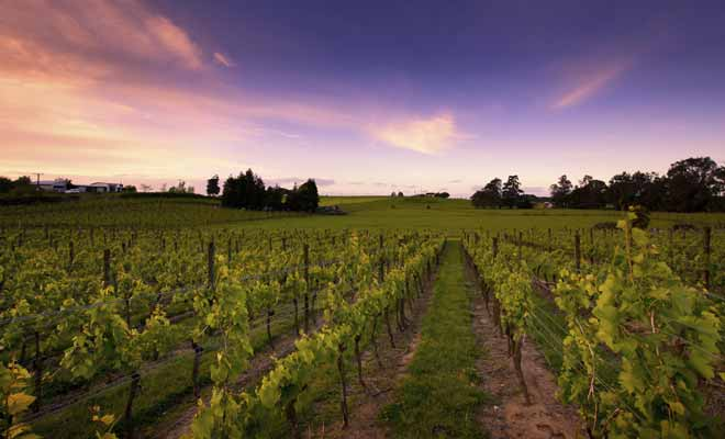 Si vous visitez la baie de Hawkes et notamment la ville de Napier, pensez à visiter les agréables vignobles pour goûter les vins de la région.