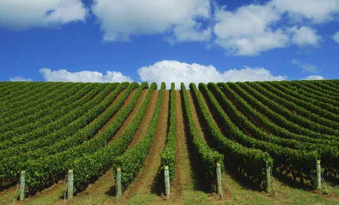 Le Northland ne produit pas de grands crus, mais quelques vins originaux qu'il faut goûter si l'on est de passage dans la région, mais que l'on ne commandera pas au restaurant ailleurs dans le pays.