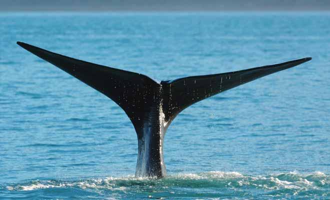 L'idéal pour ne pas rater la photo d'une baleine qui plonge est de disposer d'un mode rafale sur son appareil.