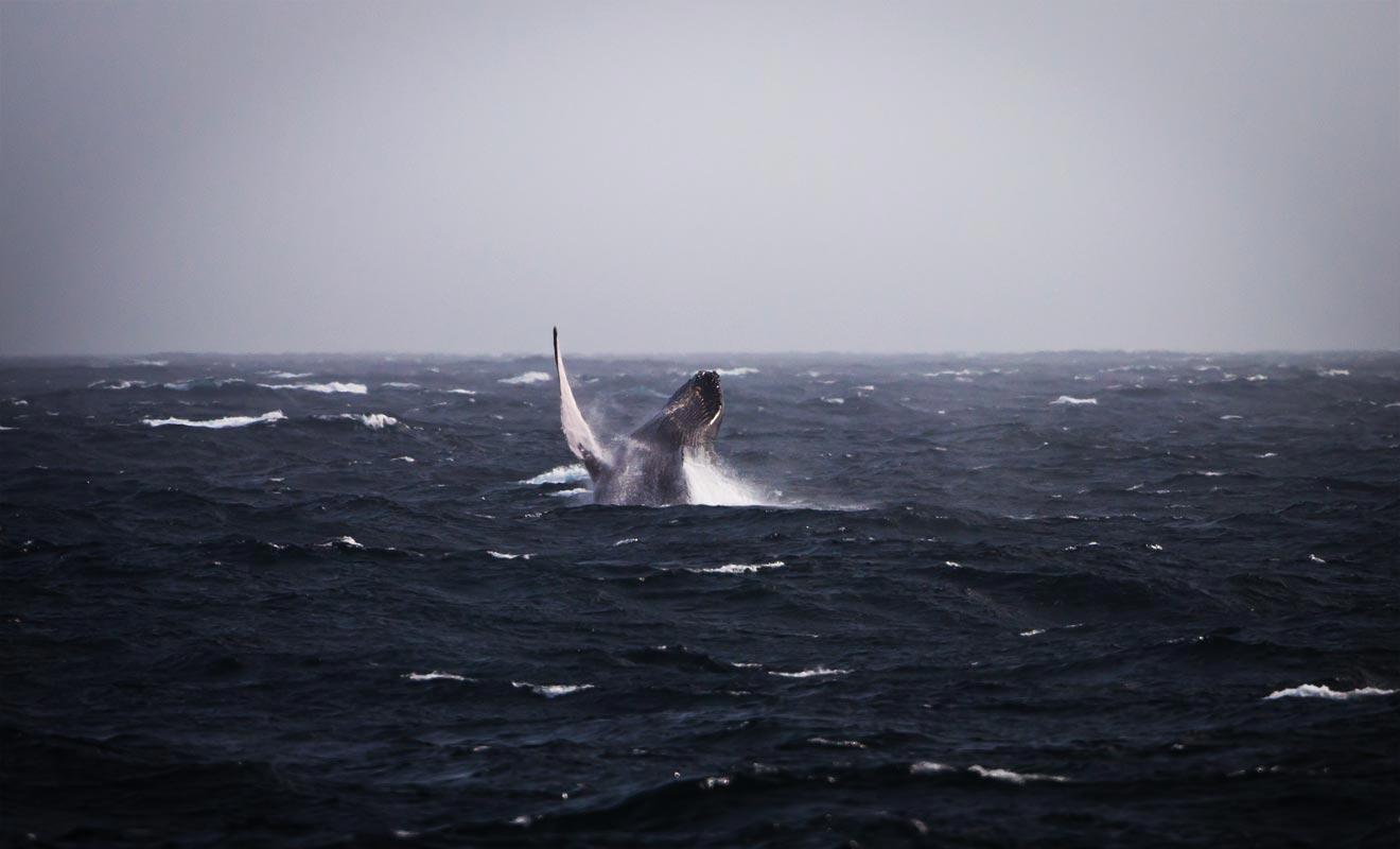 Les chances d'observer au moins une baleine sont de 99% ! Dans le cas contraire, les voyageurs sont remboursés par l'organisateur.