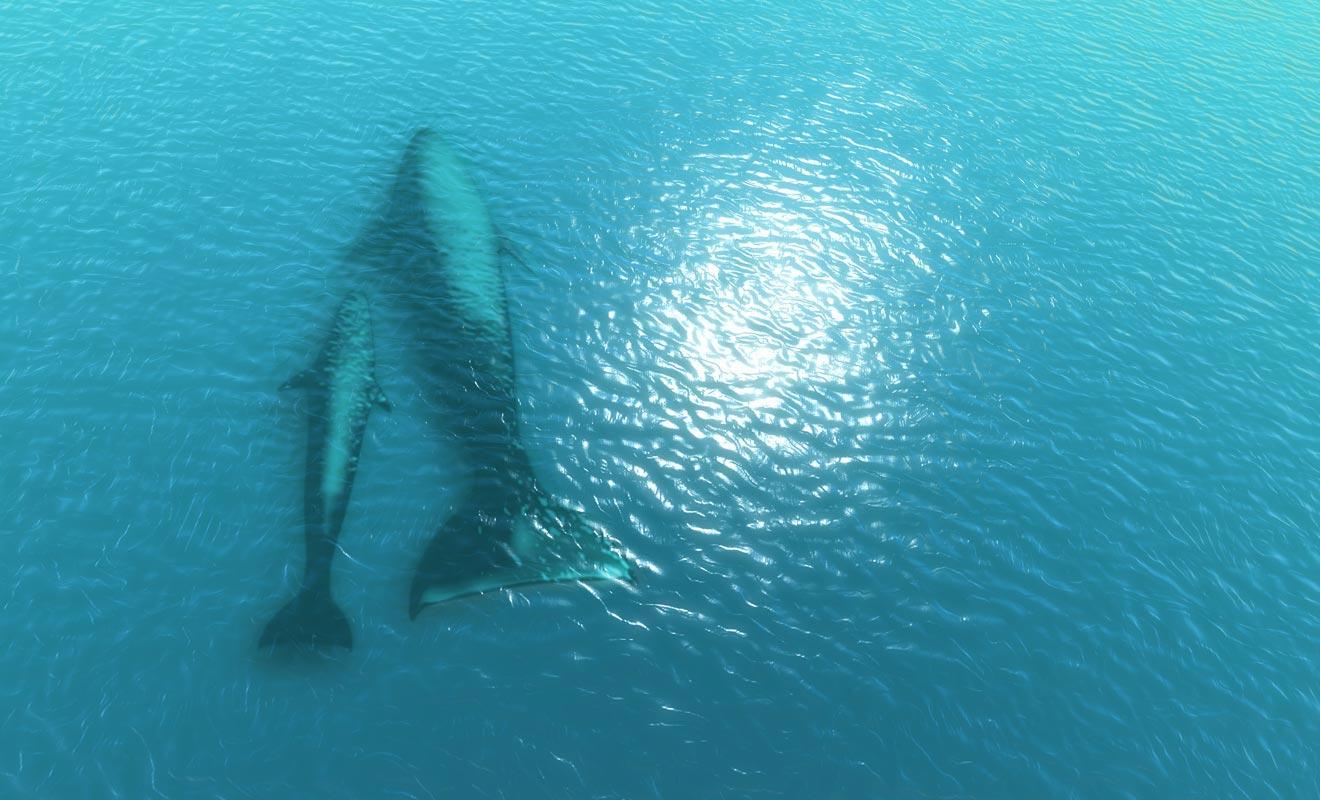 Si votre budget le permet, il est recommandé de survoler les baleines en hélicoptère. Contrairement aux sorties en bateau qui ne dévoilent que le dos et l'aileron de ces mammifères, la vue du ciel permet de les admirer entièrement.