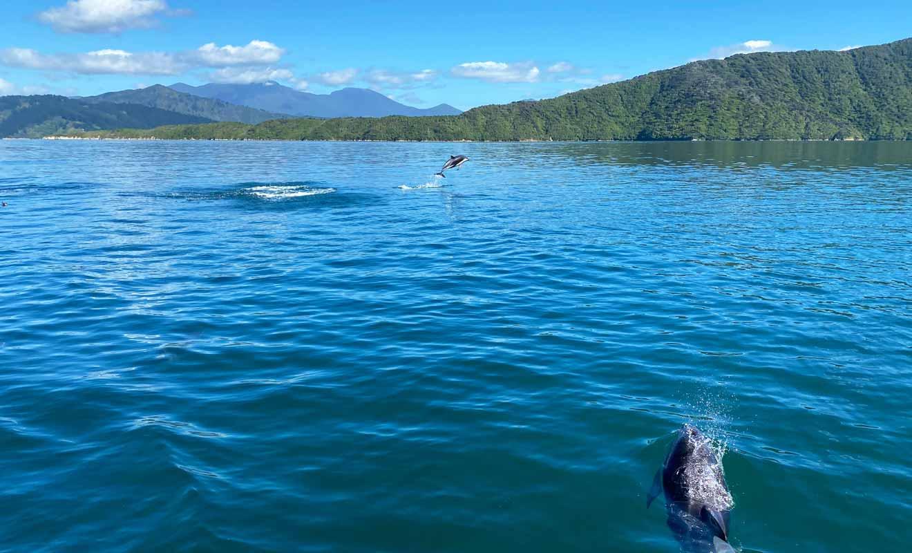 Quatre variétés de dauphins nagent dans les Marlborough Sounds, et l'on peut même apercevoir des orques.