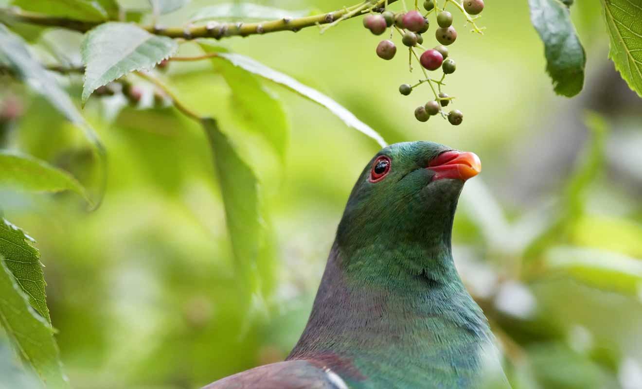 Le kereru est un pigeon d'autant plus gros qu'il n'a pas de prédateurs dans la chaîne alimentaire.