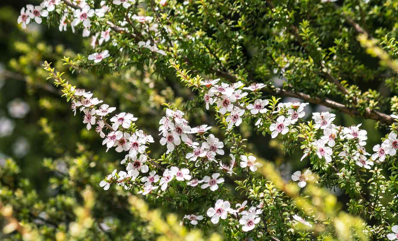 Le miel produit par les abeilles qui ont butiné les manukas sont excellents pour la santé.