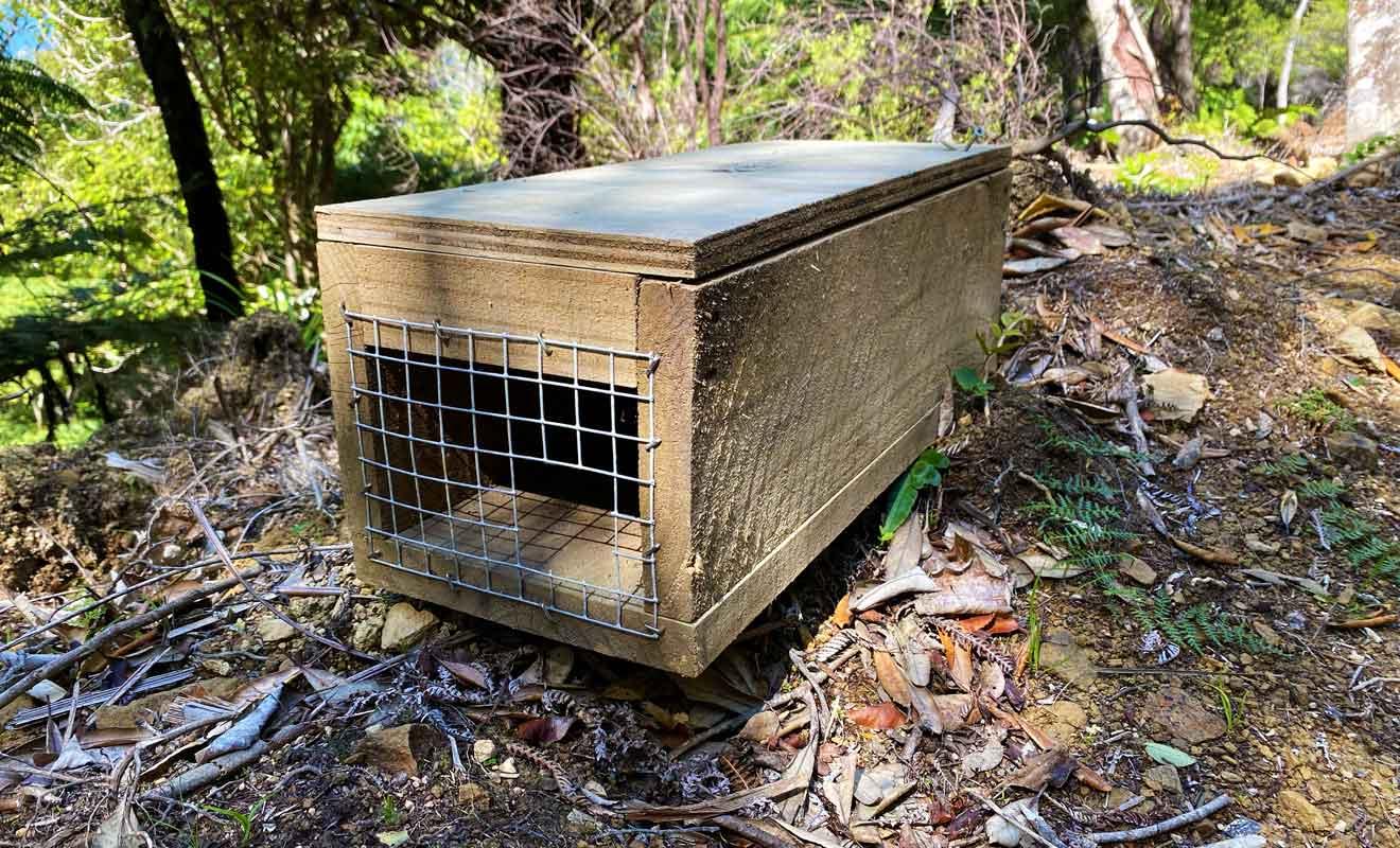 Les possums comme les rats sont traqués, car ils ravagent l'écosystème fragile de Nouvelle-Zélande.
