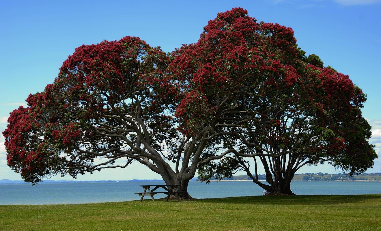 Le pohutukawa se couvre de fleurs rouges au début de l'été. Comme cette saison coïncide avec les fêtes de fin d'année, on l'appelle l'arbre de Noël.