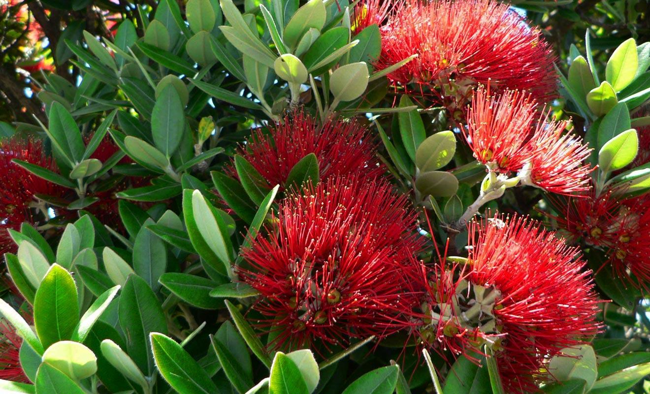 Le pohutukawa doit son surnom d'arbre de Noël parce qu'il se couvre de fleurs rouges durant les fêtes de fin d'année.