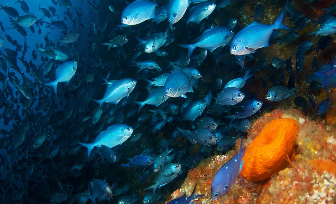 Le commandant Cousteau avait classé les Poor Knight Islands dans son classement des plus beaux sites de plongée au monde.