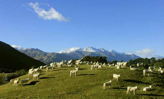 Les moutons qui vivent dans les collines du pays voient passer des milliers de visiteurs tous les jours.