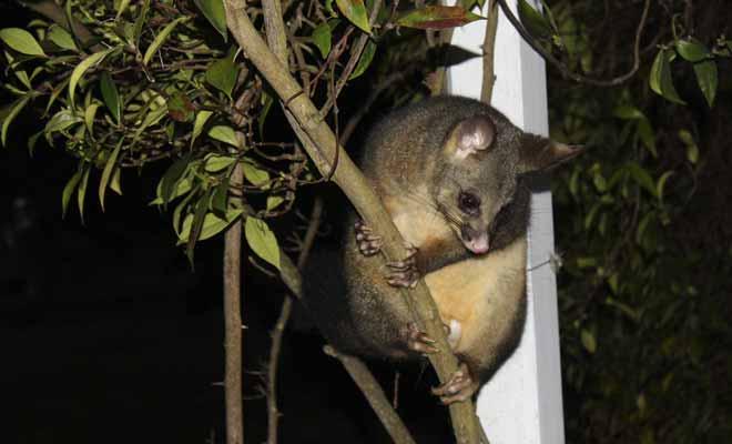 Le possum est plus efficace qu'une tronçonneuse quand il s'agit d'abattre un arbre, car la végétation de Nouvelle-Zélande est littéralement dévastée par ce petit rongeur.