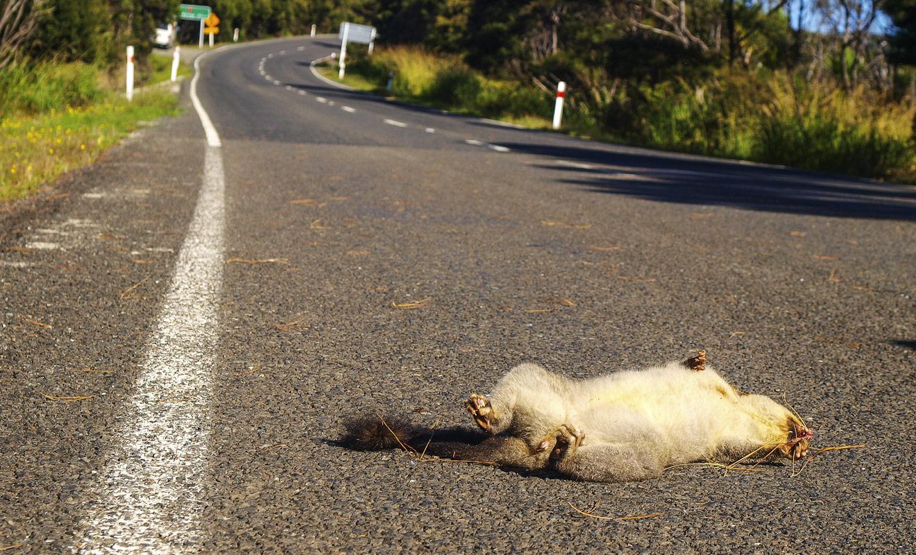Difficile d'aimer les possums quand on constate les ravages qu'ils font subir aux forêts du pays. Ajoutez à cela le fait que ce rongeur transmet des maladies graves comme la rage au bétail, et vous comprendrez pourquoi les Néo-Zélandais sont en guerre contre le possum.