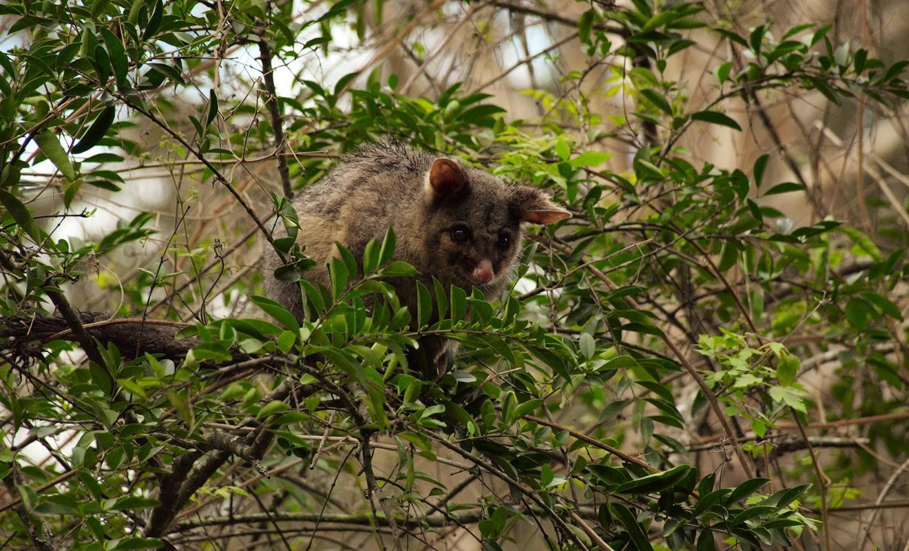 La biosécurité a été instaurée pour protéger l'écosystème du pays contre les nuisibles comme le possum.