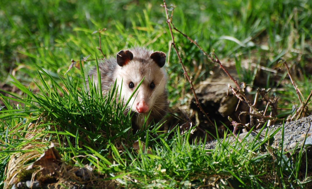Parce qu'il transmet des maladies au bétail et ravage la végétation, le gouvernement néo-zélandais mène des campagnes pour exterminer les possums du pays.