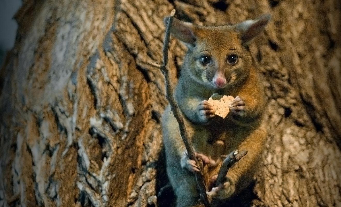 Il est interdit de nourrir les possums. Ne vous fiez pas à leur regard triste, ces nuisibles dévorent des hectares de végétation chaque nuit.