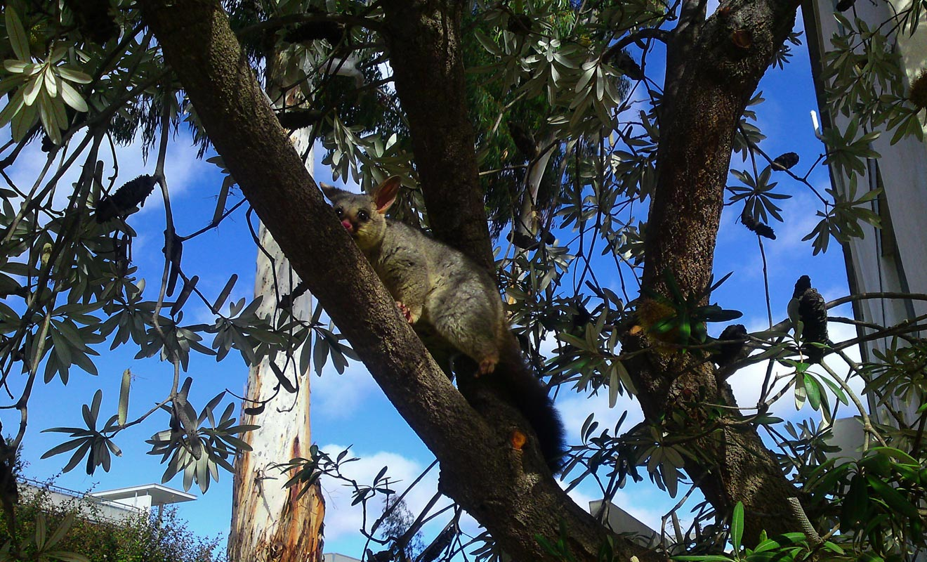Le possum a été introduit en provenance d'Australie par les colons qui faisaient le commerce de sa fourrure. En liberté, cette créature a tôt fait de ravager les plantations et la végétation.