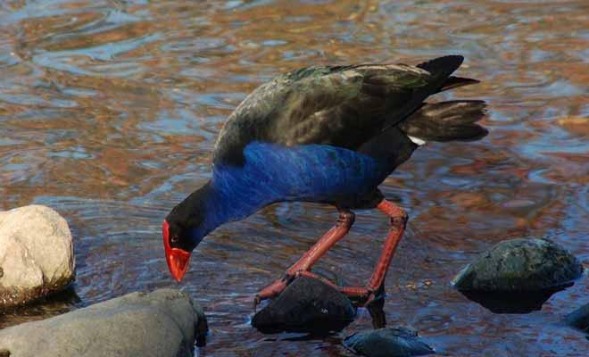 Le pukeko possède un plumage bleu vif et un bec rouge. C'est une espèce endémique de Nouvelle-Zélande.