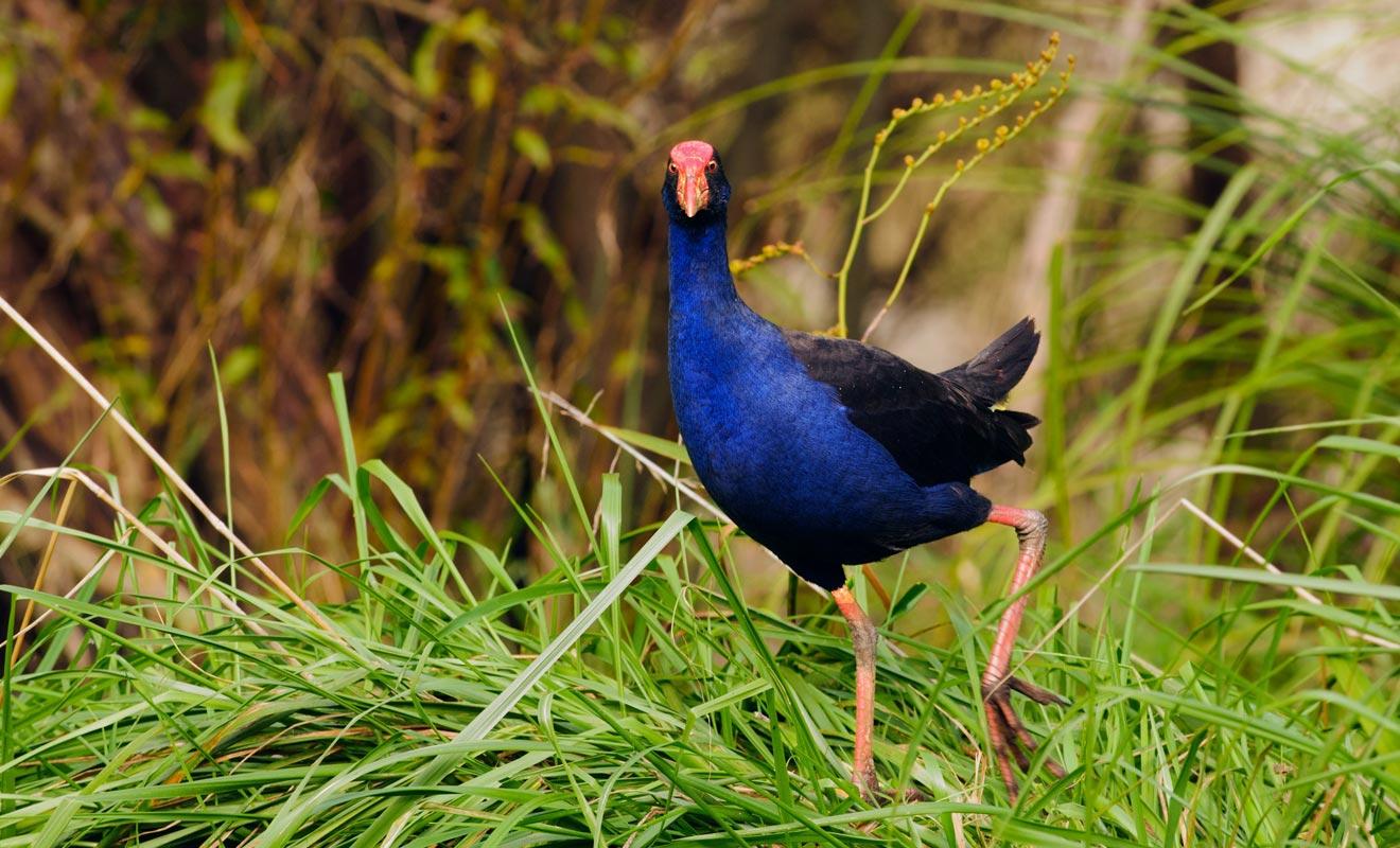 Le pukeko cherche souvent sa nourriture dans les marécages. Vous avez des chances de le croiser près du lac Matheson.