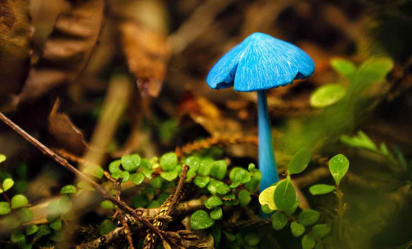 On trouve cette variété de champignon uniquement en Nouvelle-Zélande.