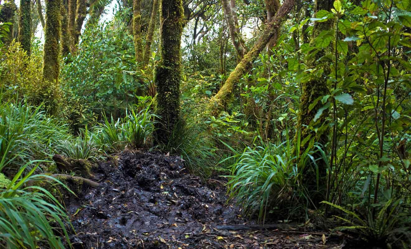 Il ne faudra pas avoir peur de marcher dans la boue durant la randonnée de Mt Karioi Track.