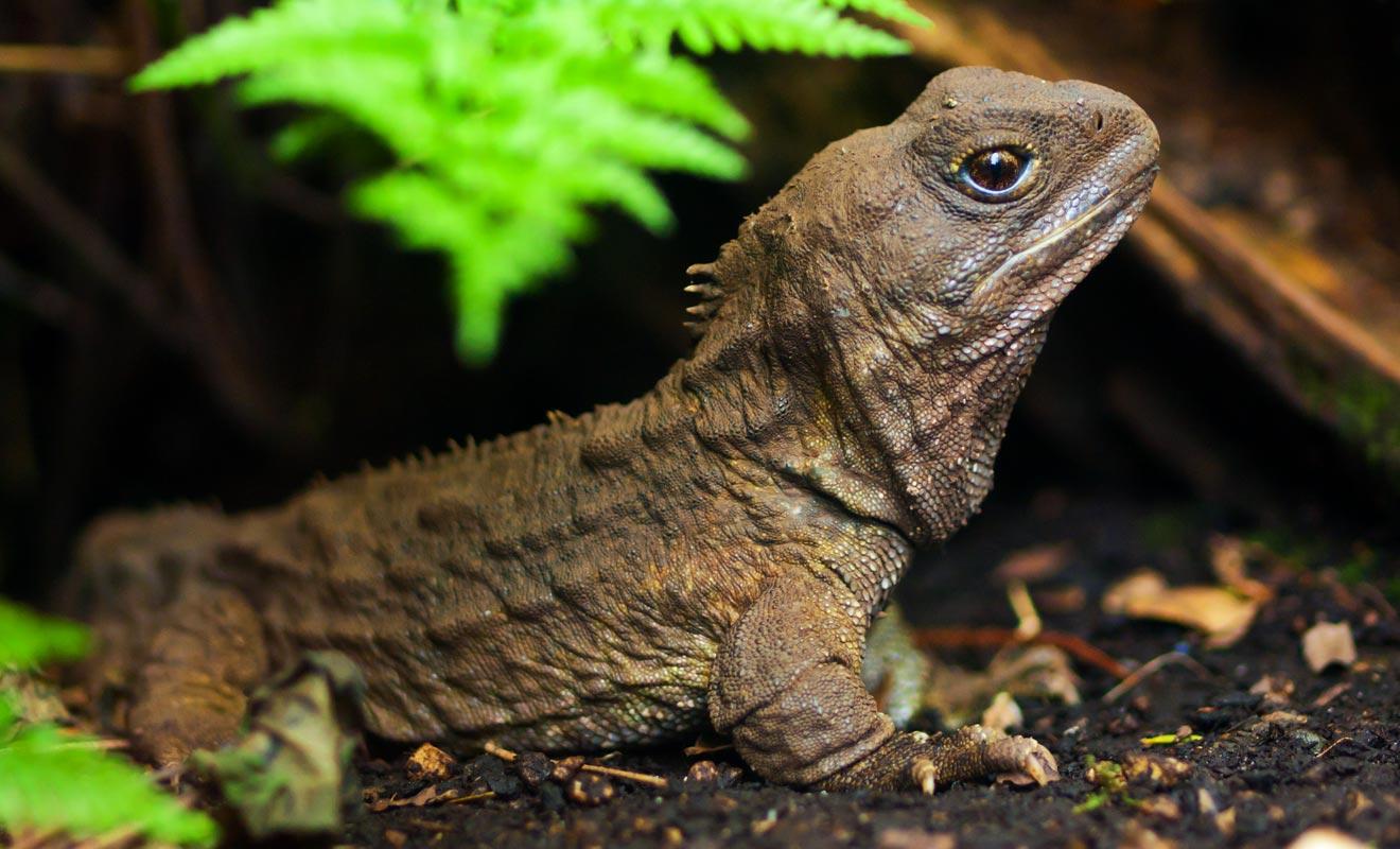 Le tuatura est une espèce restée inchangée depuis l'époque des dinosaures. Il est capable de retenir son souffle durant plus d'une heure pour chasser sa proie.