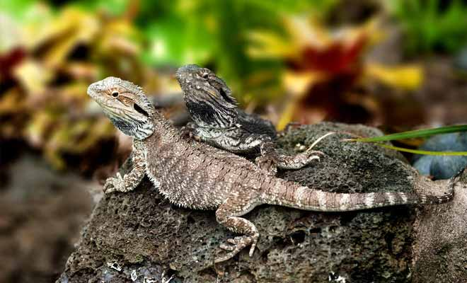 You contemplate a species who comes frome the dinosaurs era! The tuatura is a lizard that already existed 65 million years ago! The species has survived to this day but is now in danger of extinction.